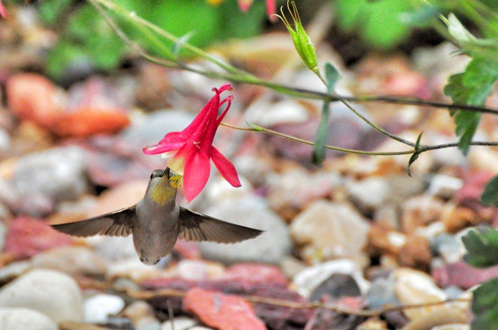 A hummingbird feeding on nectar in a columbine flower.
