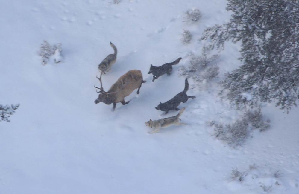 A herd of wolves surrounding a bull elk