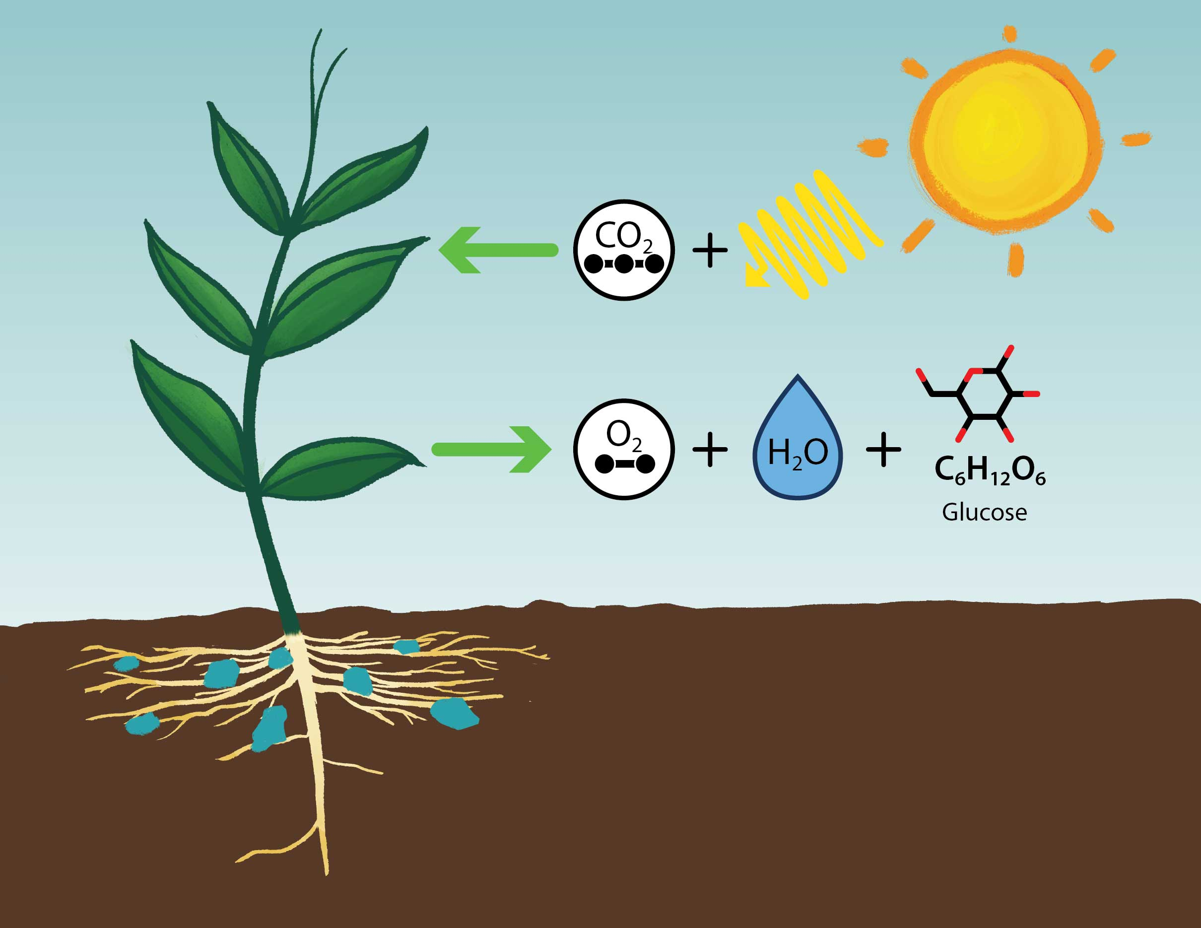 A simplified diagram showing the overall inputs – carbon dioxide, water, and sunlight, and products – oxygen and sugar (glucose), of photosynthesis.