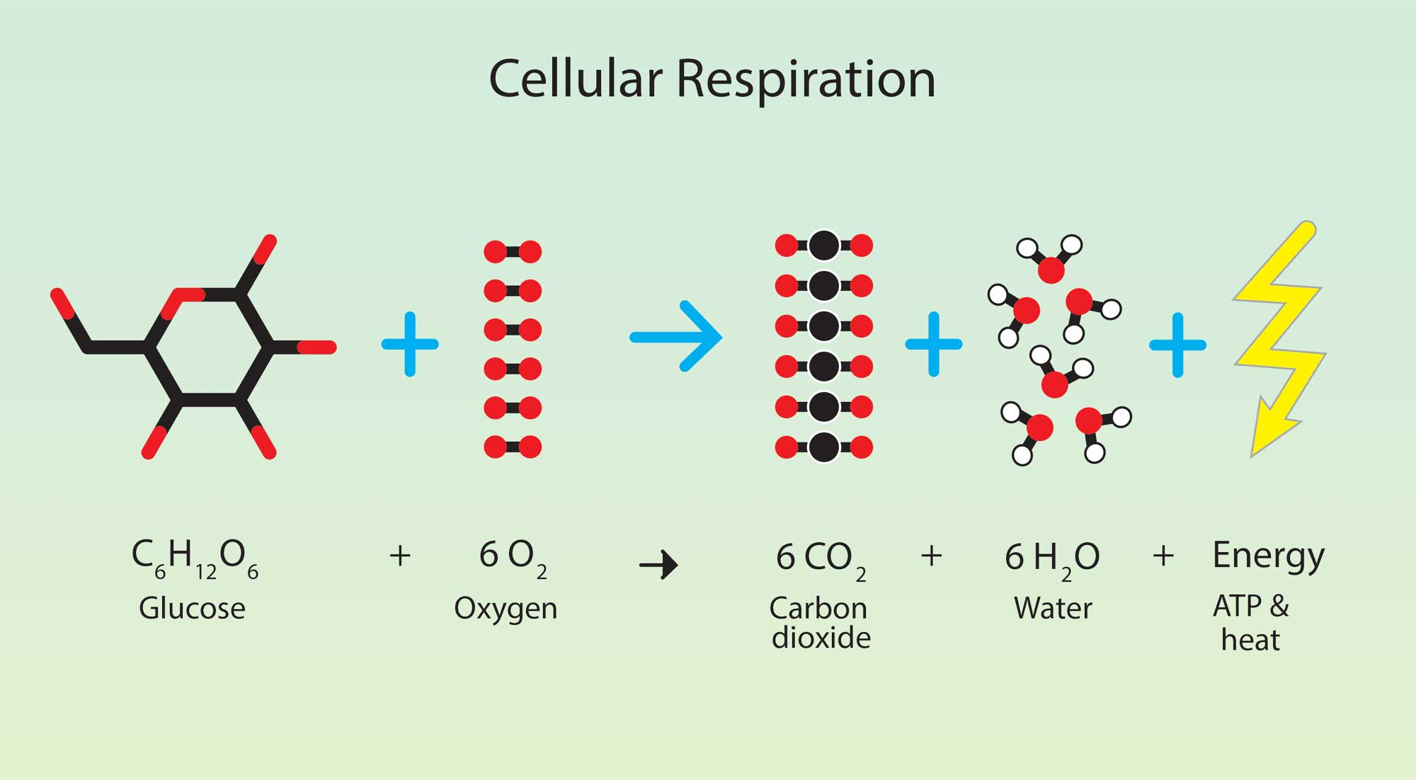 illustrated model for the chemistry of respiration